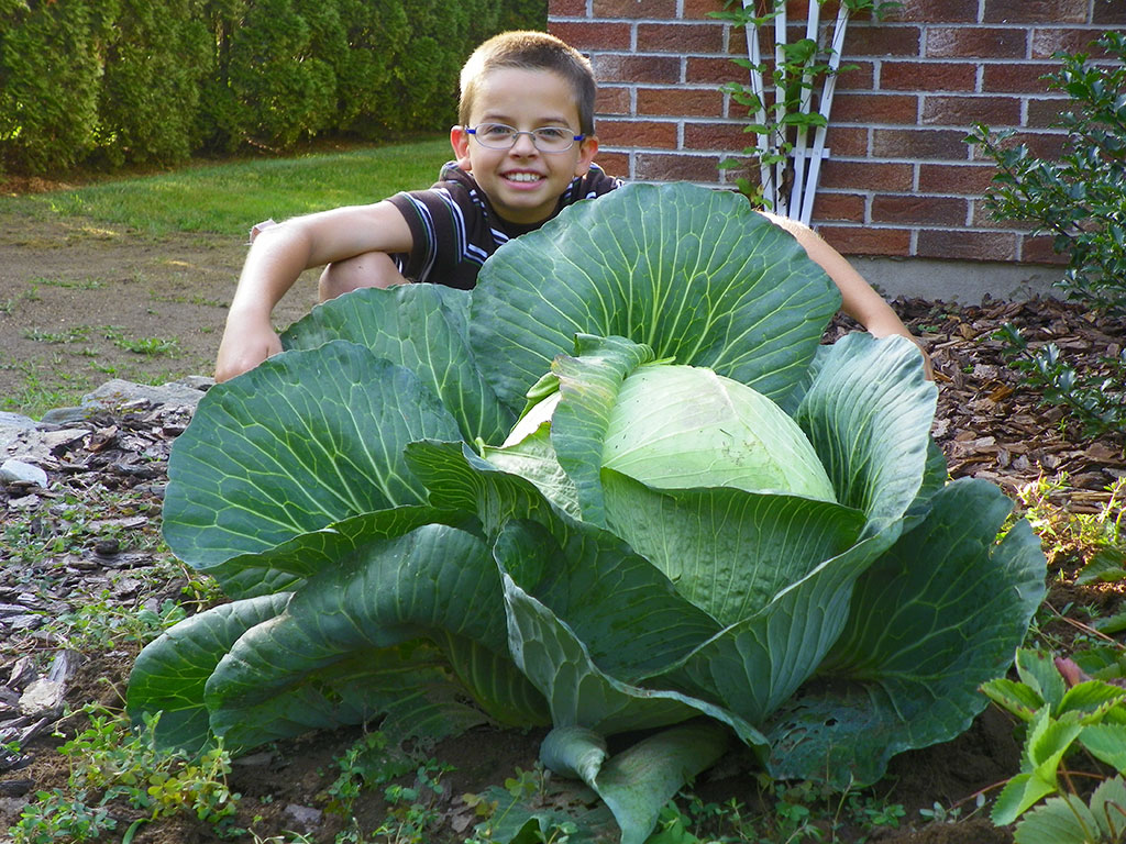 how to grow cabbage in australia