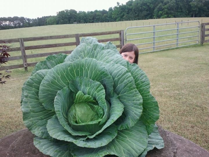 Georgia Winning Cabbage